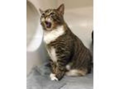 Adopt OYSTER a Domestic Short Hair