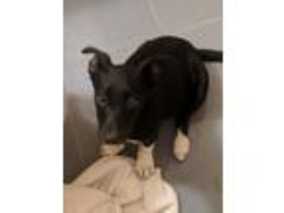 Adopt Myla Newberry a Black - with White Mixed Breed (Medium) / Border Collie /