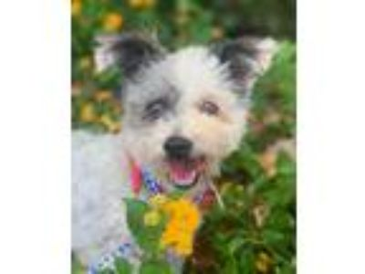 Adopt PIRATE a White - with Gray or Silver Poodle (Miniature) / Terrier (Unknown