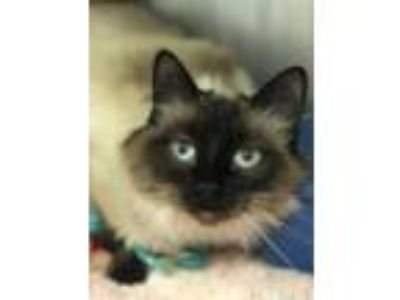 Adopt Corazone a Cream or Ivory Domestic Longhair / Siamese / Mixed (long coat)