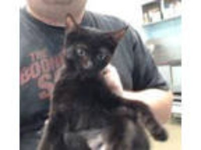 Adopt SACAYGAWEAY a Domestic Short Hair