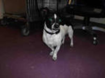 Adopt *JACK a Black - with White Jack Russell Terrier / Mixed dog in Long Beach