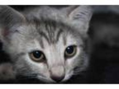 Adopt Mabel a Gray or Blue Domestic Shorthair / Domestic Shorthair / Mixed cat