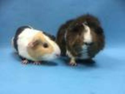 Adopt Grace a Brown or Chocolate Guinea Pig / Mixed small animal in Coon Rapids