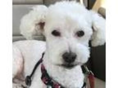 Adopt Tuffy a Poodle (Miniature) / Mixed dog in Costa Mesa, CA (25838981)
