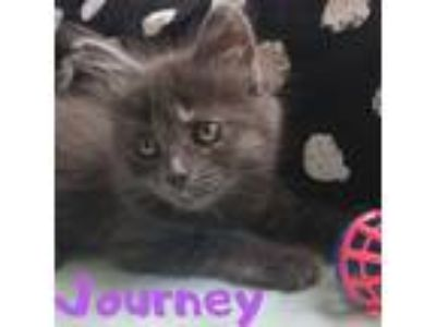 Adopt Journey a Domestic Long Hair, Dilute Tortoiseshell