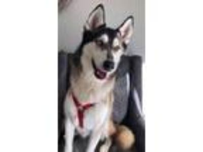 Adopt Pocky a Siberian Husky / Mixed dog in Thousand Oaks, CA (25328413)