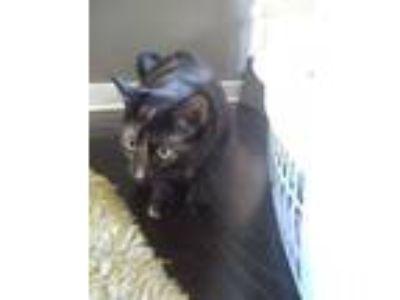 Adopt Luna a Tortoiseshell American Shorthair cat in New Orleans, LA (25631930)