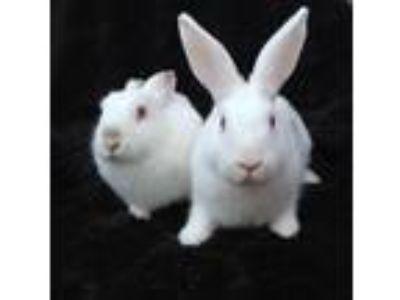 Adopt Isidore & Aragon a Bunny Rabbit