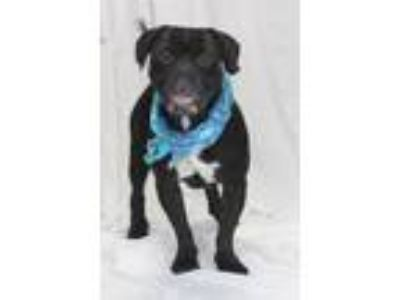 Adopt Bubba Gump a Mastiff, Mixed Breed