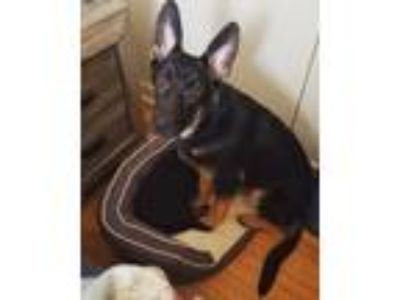 Adopt Murphy a Black - with Tan, Yellow or Fawn German Shepherd Dog dog in