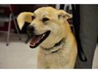 Adopt Rocco a Tan/Yellow/Fawn Labrador Retriever / Shepherd (Unknown Type) /