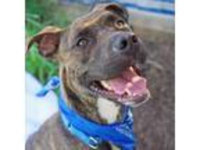 Adopt Harbour a Brown/Chocolate American Pit Bull Terrier / Mixed dog in