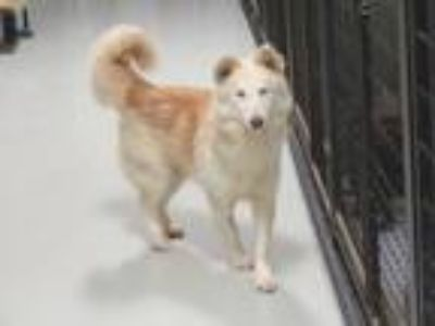 Adopt Carrie a Husky, German Shepherd Dog