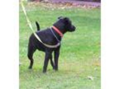 Adopt Hector a Black Labrador Retriever / Chow Chow / Mixed dog in Little
