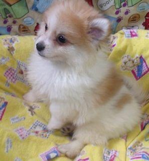 Pomeranian PUPPY FOR SALE ADN-90907 - Panda