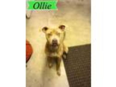 Adopt Ollie a Boxer / Labrador Retriever dog in Butler, KY (24746360)