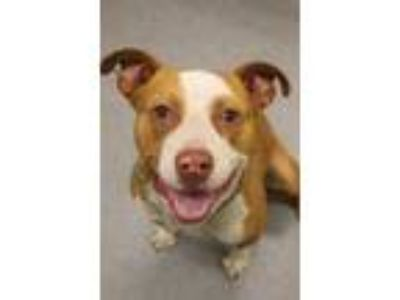 Adopt Knox a Red/Golden/Orange/Chestnut American Pit Bull Terrier / Mixed dog in