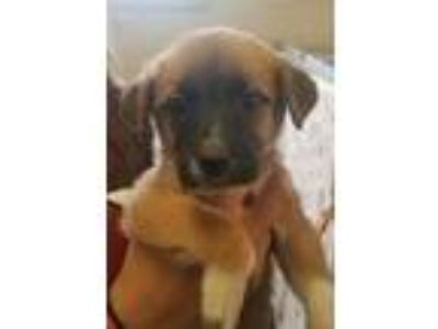Adopt Darlin a Red/Golden/Orange/Chestnut Great Pyrenees / Mixed dog in