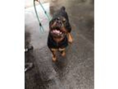 Adopt Roman a Black - with Tan, Yellow or Fawn Rottweiler / Mixed dog in St