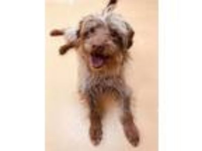 Adopt Rumble a Terrier