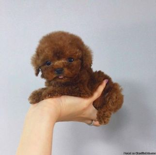 super cute red teacup poodle puppies!~ updated on NOV23th