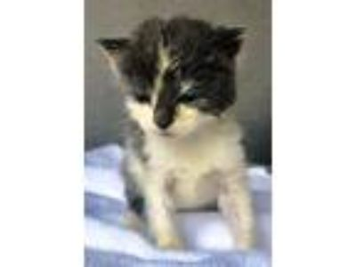 Adopt Ajax a Gray or Blue (Mostly) Domestic Shorthair (short coat) cat in