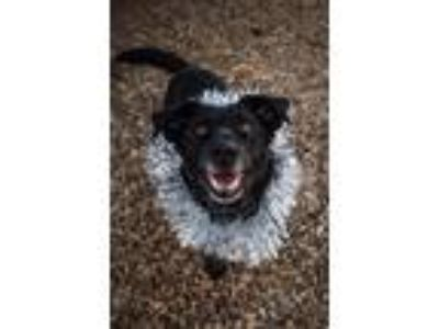 Adopt Mia a Black - with White Labrador Retriever / Mixed dog in Norman