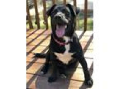 Adopt Sweet Puppy a Black - with White Labrador Retriever / American Pit Bull