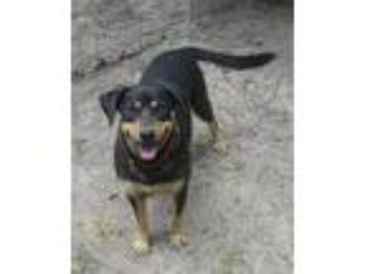 Adopt Buddy a Mountain Dog, Rottweiler