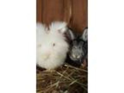 Adopt Pearl and Max a Chinchilla, Lionhead