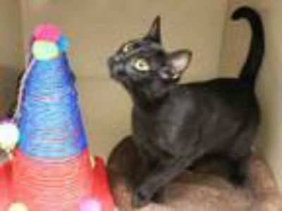 Adopt STARRY a Domestic Short Hair