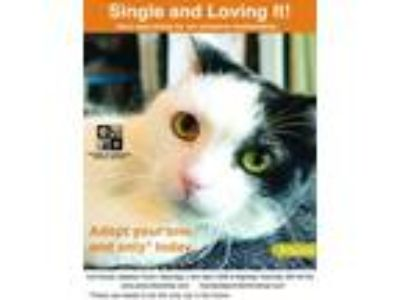 Adopt Artemis a Domestic Short Hair