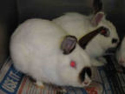 Adopt ACORN a White American / Mixed rabbit in Van Nuys, CA (25552676)