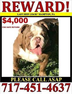 Missing English Bulldog Reward offered