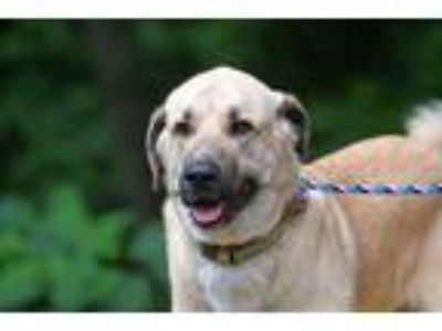 Adopt Clyde a Tan/Yellow/Fawn - with Black Anatolian Shepherd / Mixed dog in
