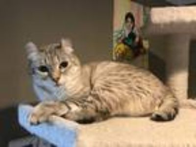 Adopt Poncho a Spotted Tabby/Leopard Spotted Polydactyl/Hemingway / Mixed cat in
