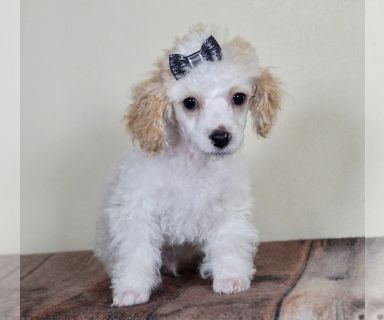 Poodle (Toy) PUPPY FOR SALE ADN-127218 - Adorable Toy Poodle Puppy Ready to go
