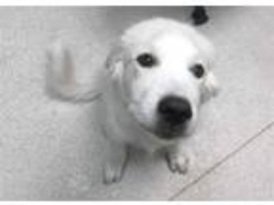 Adopt ZEUS a White Great Pyrenees / Mixed dog in Murray, UT (25624451)