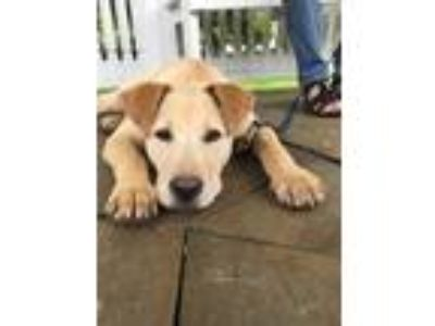 Adopt Pebbles 6 Months Old Lab Mix Fostering in CT a Tan/Yellow/Fawn Labrador