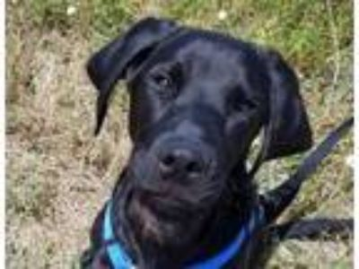 Adopt Vader a Black Labrador Retriever / Mixed dog in Sheridan, WY (22598578)