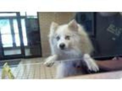 Adopt Picasso a Mixed Breed, Spitz