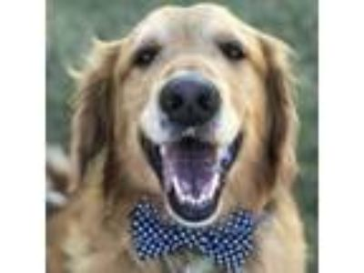 Adopt Rockie a Golden Retriever