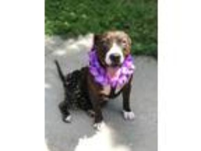 Adopt Koloka a Catahoula Leopard Dog / Mixed Breed (Medium) / Mixed dog in