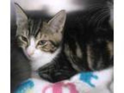 Adopt Parrot a Brown or Chocolate Domestic Shorthair / Domestic Shorthair /