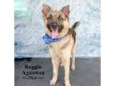Adopt A320612 a German Shepherd Dog, Mixed Breed