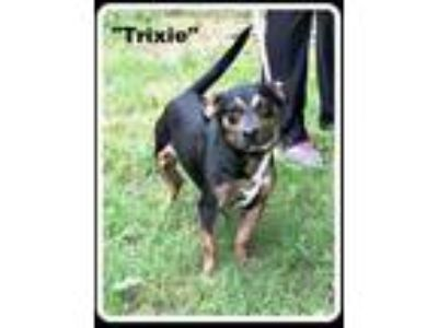 Adopt Trixie a Dachshund / Hound (Unknown Type) / Mixed dog in Denison
