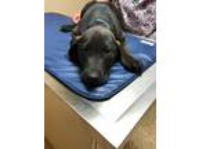 Adopt Knish a Black Hound (Unknown Type) / Retriever (Unknown Type) / Mixed dog