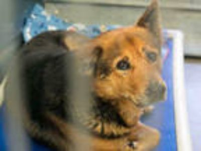 Adopt REX a Black - with Brown, Red, Golden, Orange or Chestnut German Shepherd