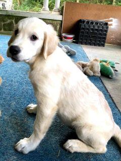 Golden Retriever PUPPY FOR SALE ADN-101615 - The Best AKC Golden Retriever Puppies in the World